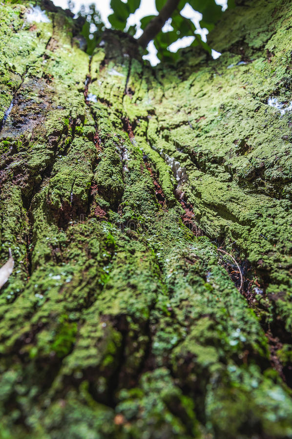 Écorce d'arbre de décomposition couverte par la mousse verte photo stock