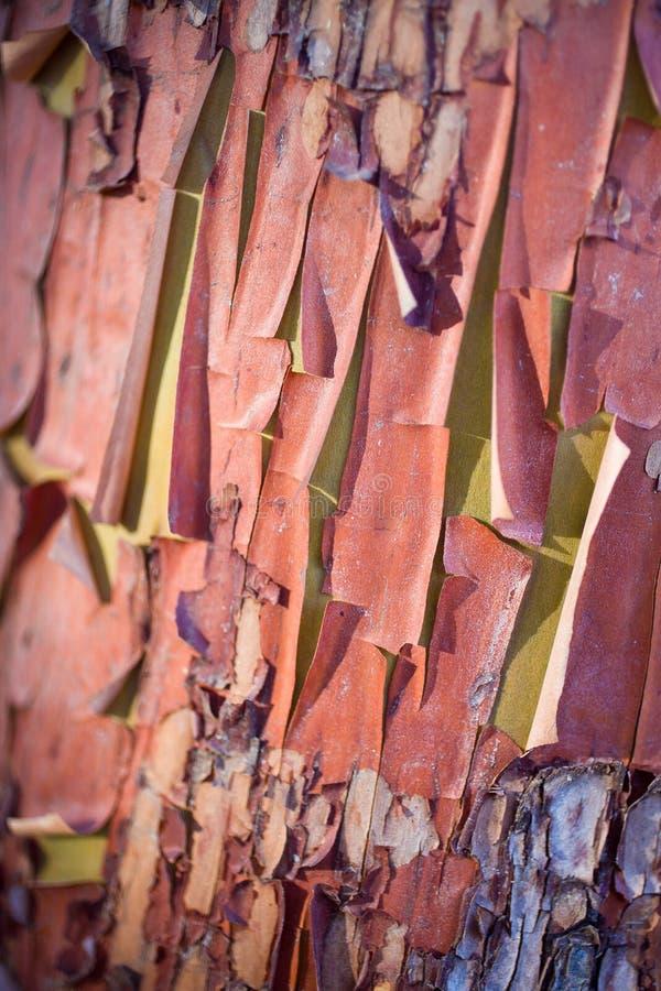 Écorce d'arbre de Madrone d'épluchage photos stock