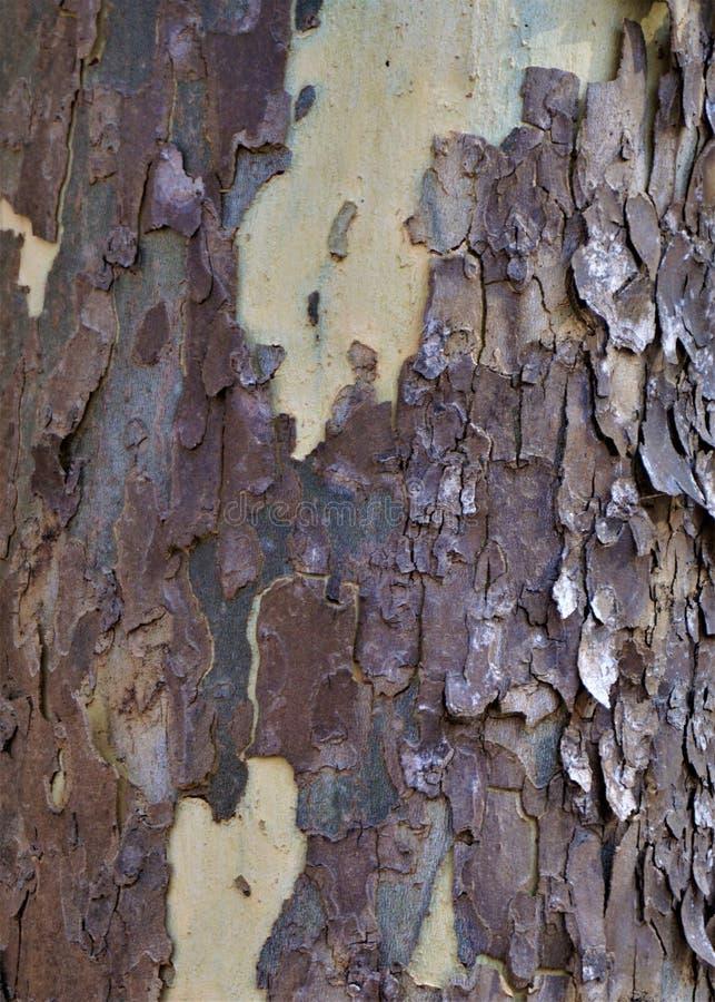 Écorce d'arbre de sycomore photos libres de droits