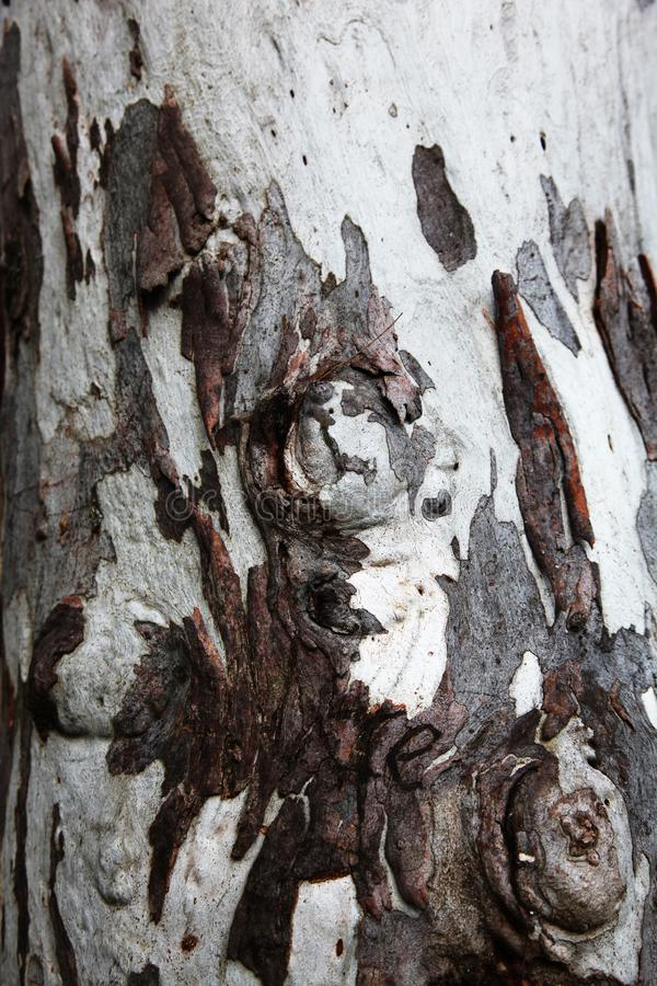 Écorce d'arbre en bois peu commune dans brun et blanc images stock