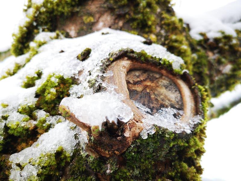 Écorce d'arbre en hiver photos libres de droits