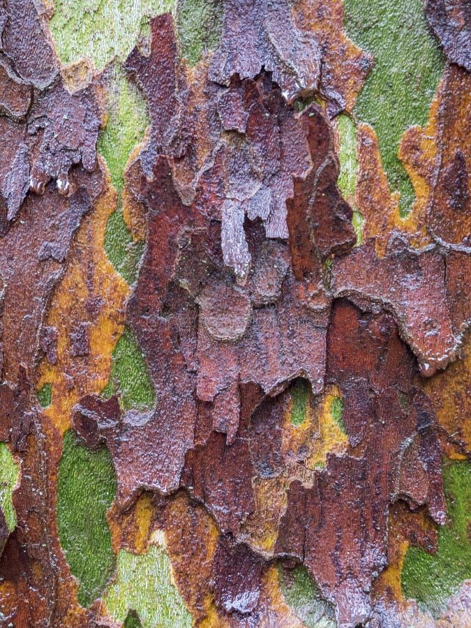 Écorce d'arbre moite d'un arbre plat photographie stock libre de droits