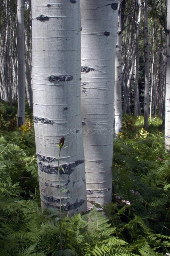 Écorce d'Aspen images libres de droits