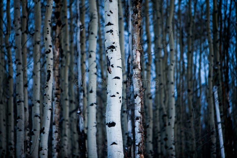 Écorce d'Aspen Tree en hiver images stock
