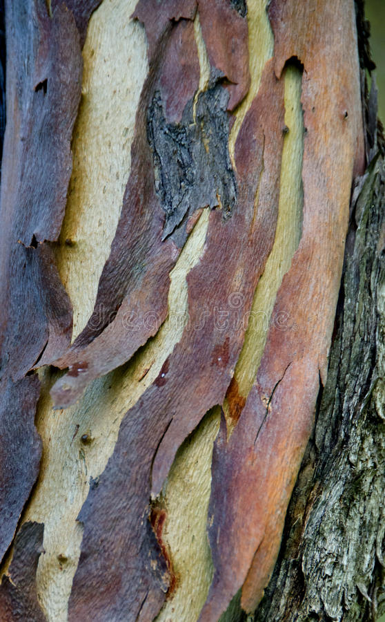 Écorce d'eucalyptus photos libres de droits