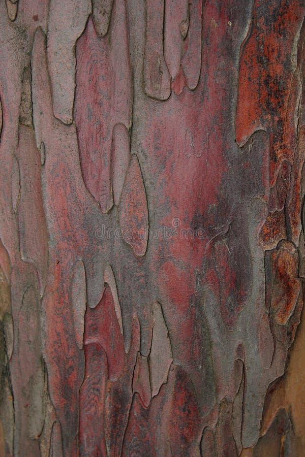 Écorce de baccata de Taxus photographie stock libre de droits