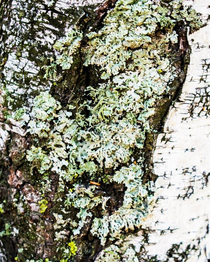 Écorce de bouleau avec le lichen ?corce de bouleau avec un lichen Witn d'écorce de bouleau un lichen images libres de droits