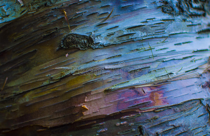 Écorce de Burch d'arc-en-ciel images libres de droits