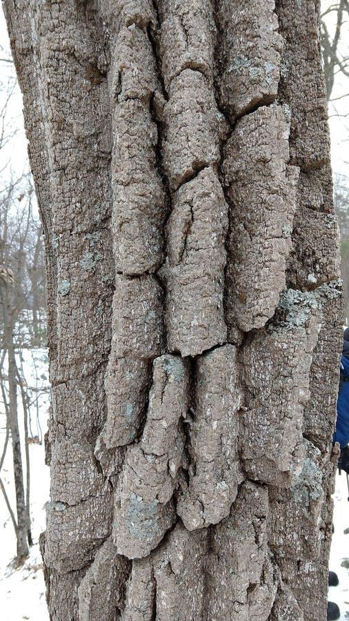 Écorce de chêne de châtaigne en hiver images libres de droits
