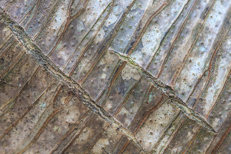 Écorce de fond et de texture d'arbre de Dracaena photographie stock libre de droits