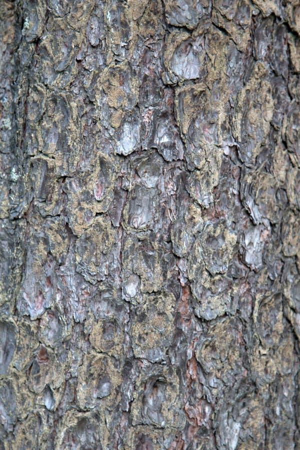 Écorce de forêt de pin photo stock