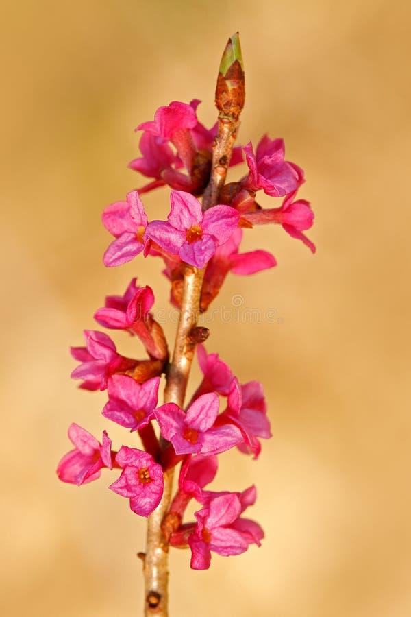 Écorce de Mezereon, cortex Mezerei, fleur rose de poison de la fleur de Daphne de forêt de ressort, détail en gros plan de fleur  photos libres de droits