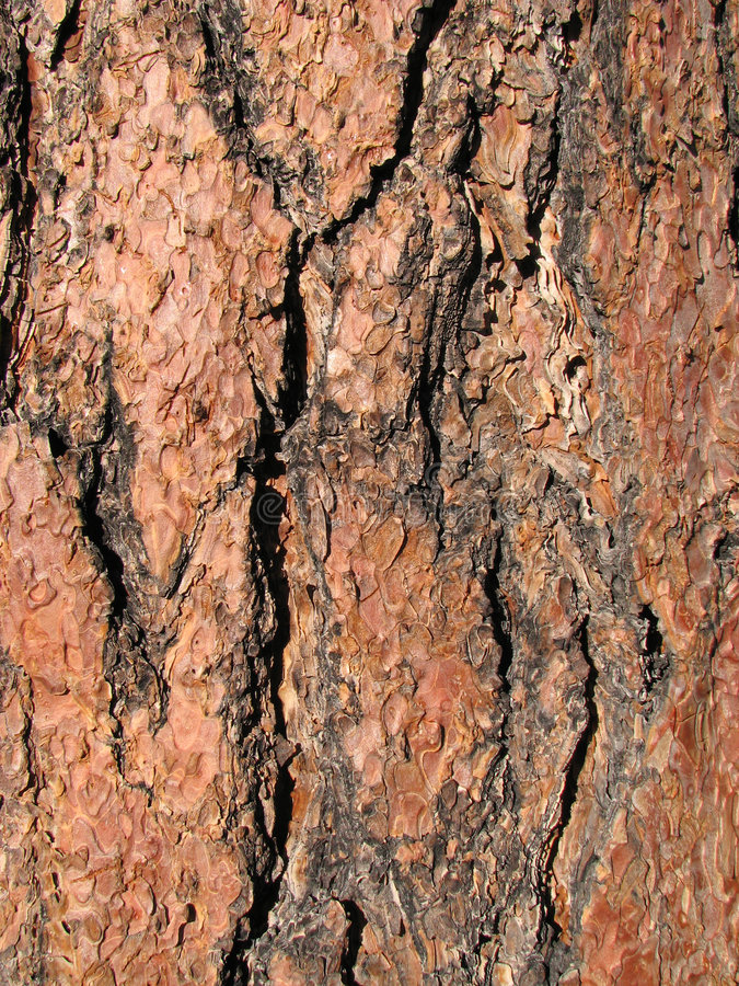 Écorce de pin de Ponderosa images stock