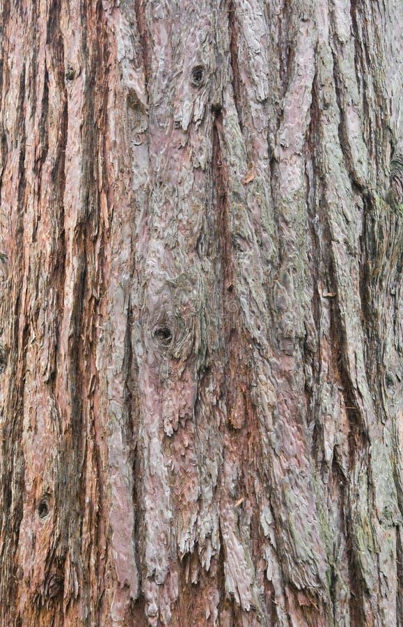 Écorce de séquoia image stock