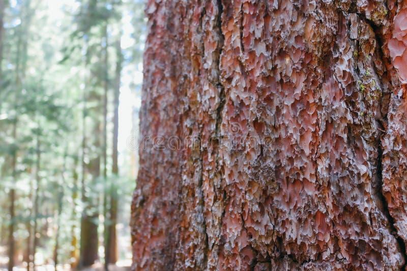 Écorce de séquoia de Californie image stock