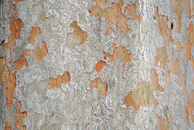Écorce de tronc de parvifolia d'Ulmus d'orme chinois image stock