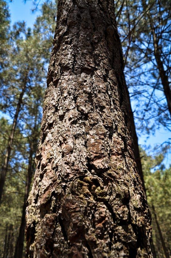 Écorce en bois abstraite de texture, vieux pin photo stock