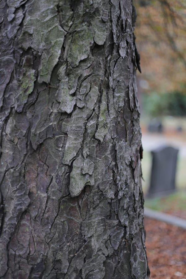 Écorce en bois de nature de texture d'arbre de cimetière photographie stock libre de droits