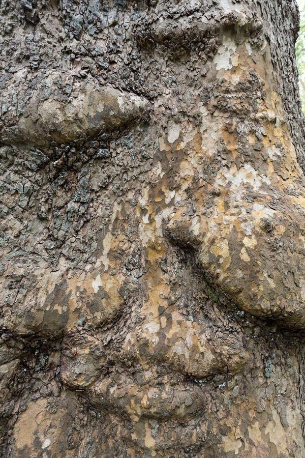 Écorce et tronc d'un arbre plat de Londres images libres de droits