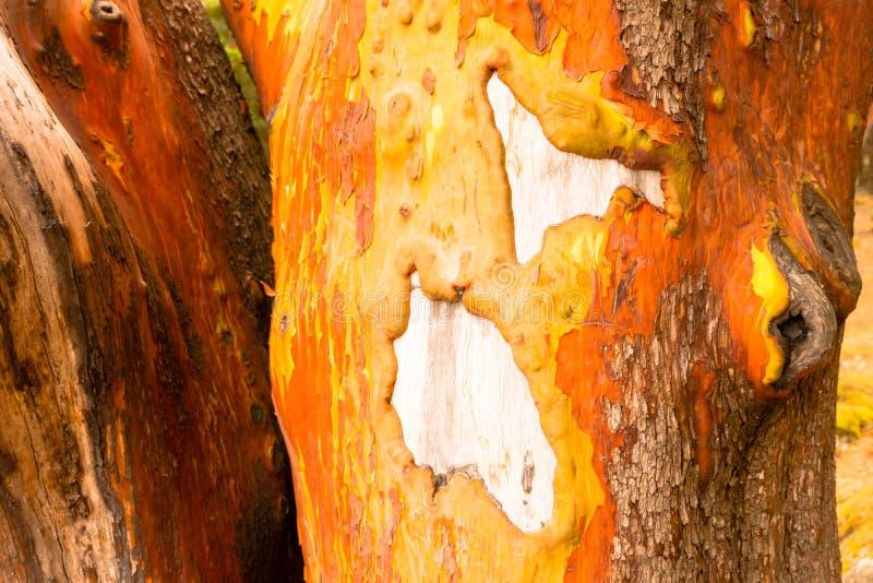 Écorce Gnarly Pacifique en bois nu de tronc d'arbre d'Arbutus de Madrone de Madrona photo stock