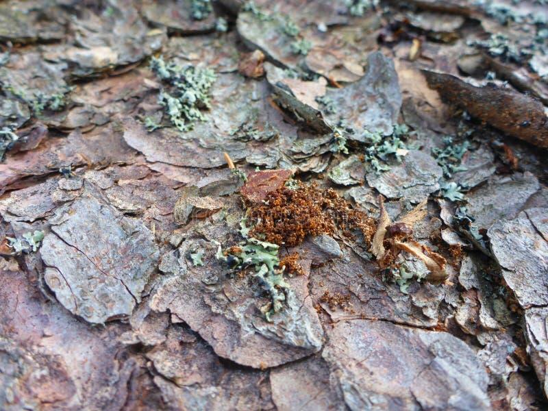 Écorce impeccable avec le repas d'un scarabée d'écorce photos stock