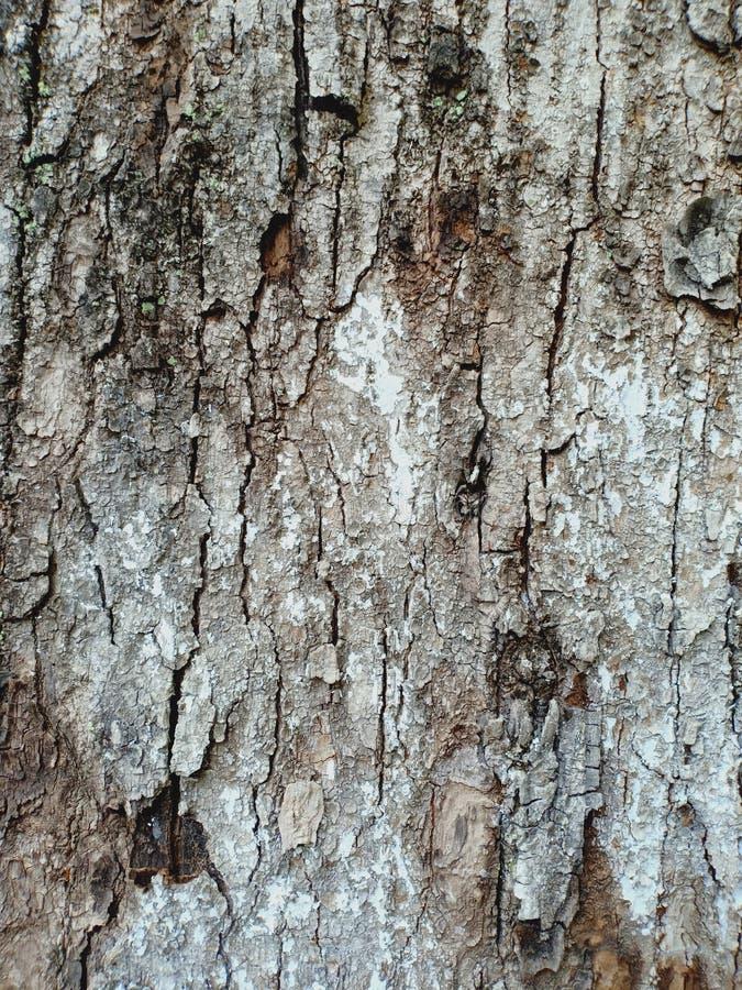 Écorce séchée d'un vieux arbre fissuré et corrodé photos stock