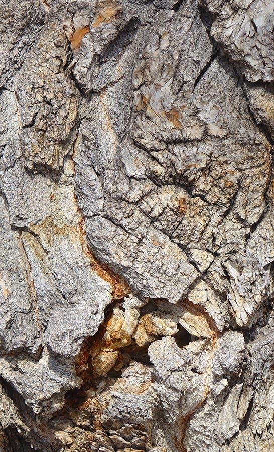 Écorce sur un arbre antique de peuplier photo stock