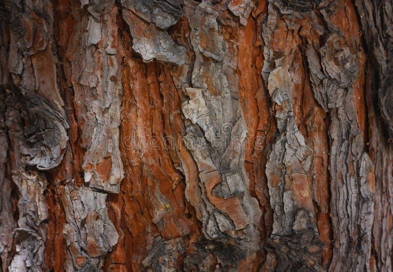 Écorce texturisée rugueuse d'un pin image libre de droits