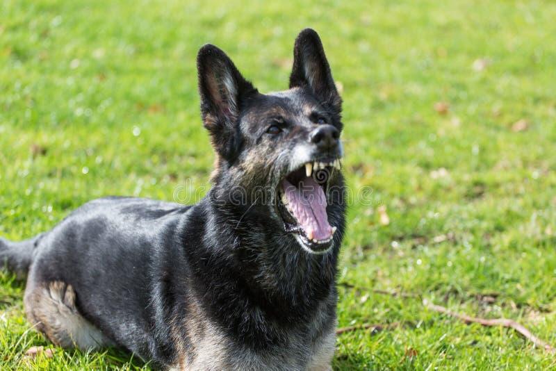 Écorcement de chien de berger allemand photos libres de droits