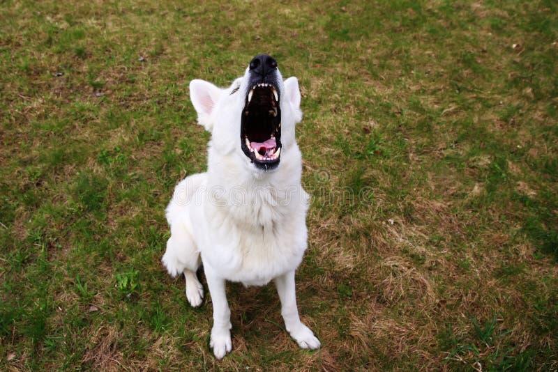 Écorcement suisse blanc de chien de berger image libre de droits