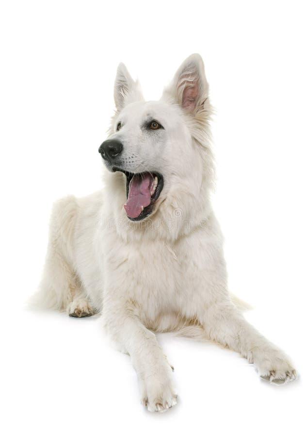 Écorcement suisse blanc de chien de berger photo stock