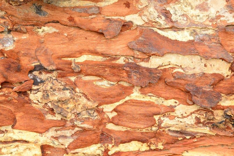 Écorcez la texture du saman Jacq de Samanea d'arbre de pluie Merr image libre de droits
