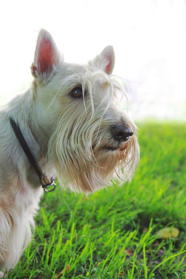 Écossais blond comme les blés Terrier sur l'herbe verte et le fond blanc images libres de droits