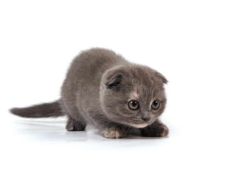 Écossais-pliez le chaton photo stock