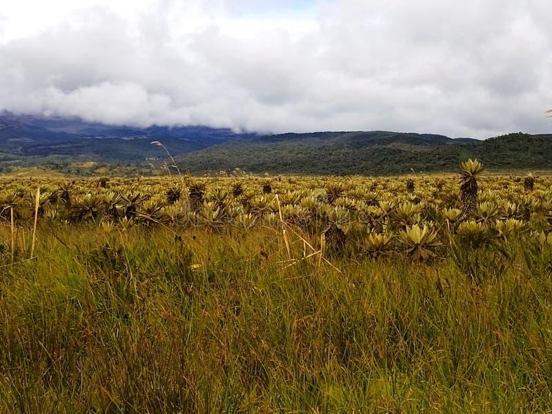 Écosystème de Paramo Végétation de haute montagne dans la région des Andes Usines de Frailejon images stock