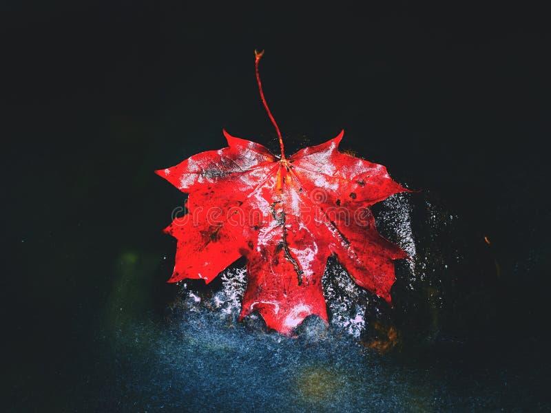 Écoulement jaune de feuilles d'érable rouge en rivière Feuilles tombées sèches image libre de droits