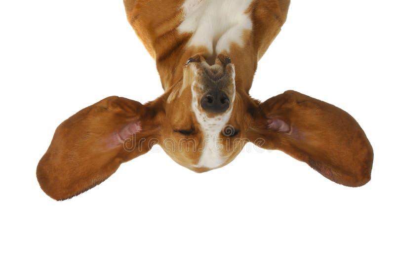Écoute de chien de basset images stock
