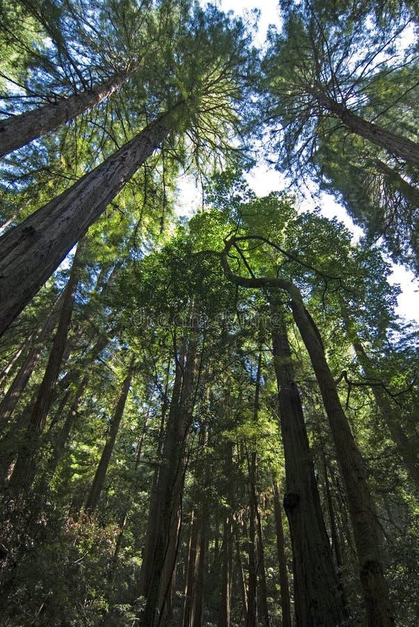 Écran de séquoia en bois de Muir photographie stock