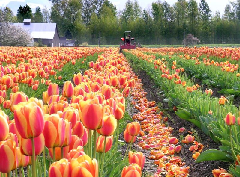 Écrimage des tulipes image libre de droits