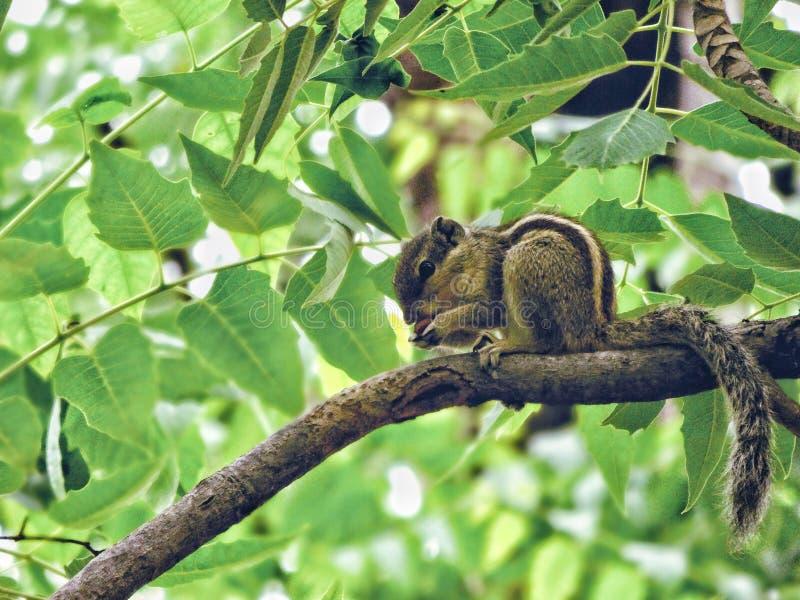 Écrous d'amour d'écureuil photographie stock libre de droits