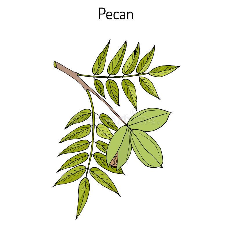 Écrous d'illinoinensis de Carya de noix de pécan avec des feuilles illustration stock