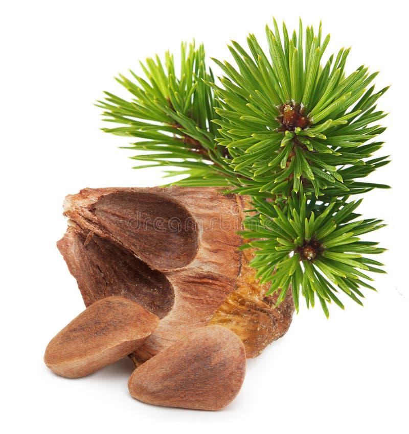 Écrous de cône de pin de cèdre photo libre de droits