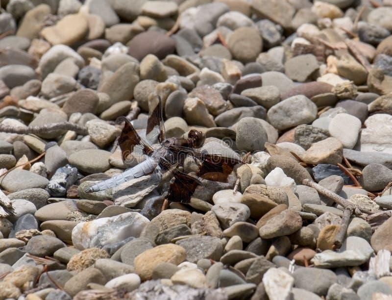Écumoire commune masculine de whitetail de libellule images libres de droits