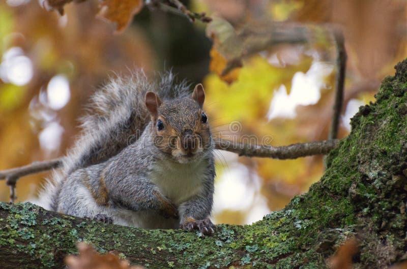 Écureuil à l'automne/automne Un arbre de couleurs gris-oriental / gris en automne / automne images libres de droits