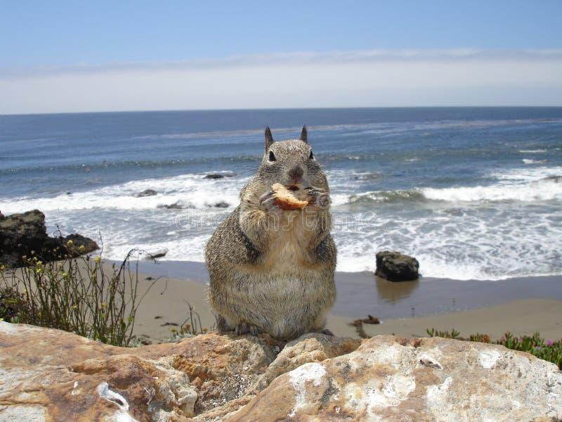 Écureuil à la plage image libre de droits