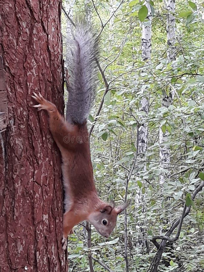 Écureuil photographie stock libre de droits