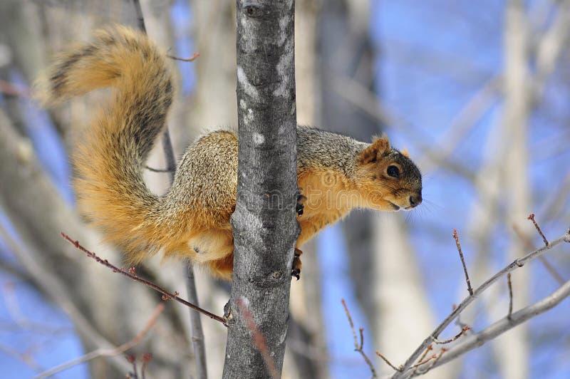 Écureuil image stock