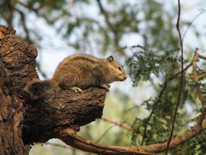 Écureuil photos libres de droits