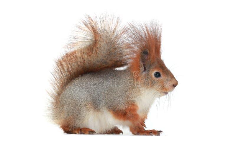 Écureuil, photo stock