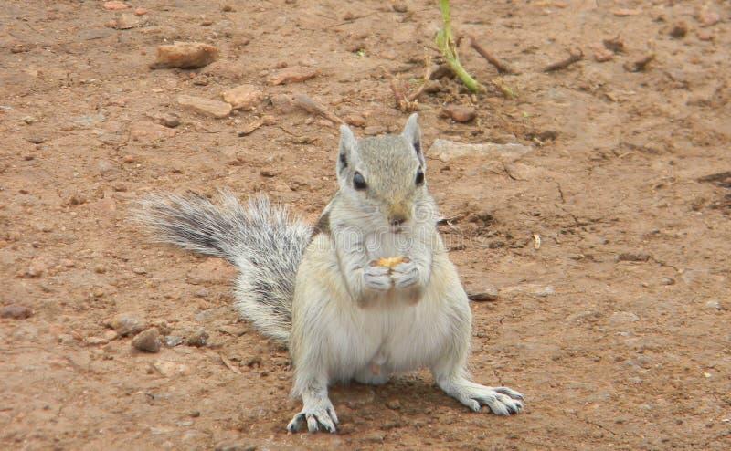 Écureuil photo libre de droits